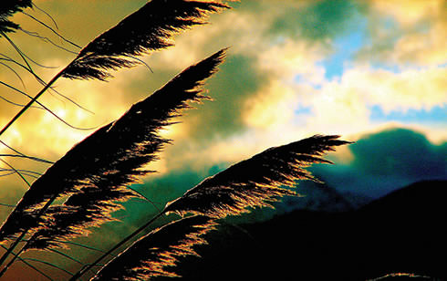 Tall grasses sway in the wind at dusk